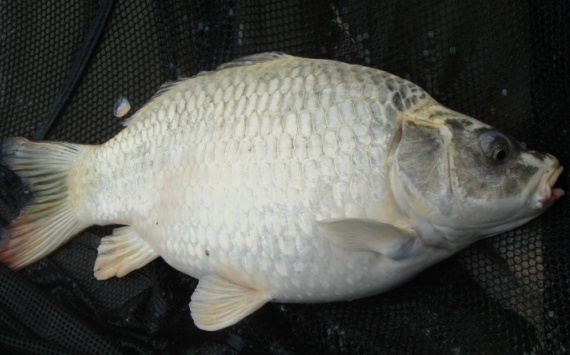 A ghost coloured carp caught from Barstons lake