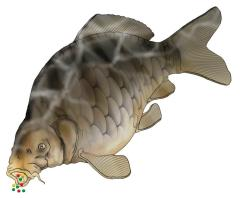 Logo showing big common carp