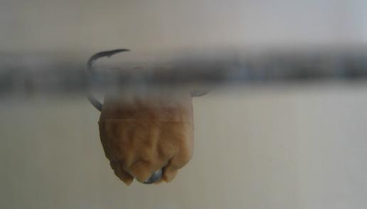 Chum bait turns to hide hook carp