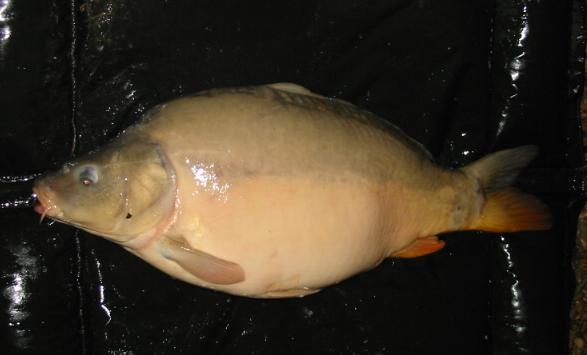 17 Pounds 5 Ounces Carp