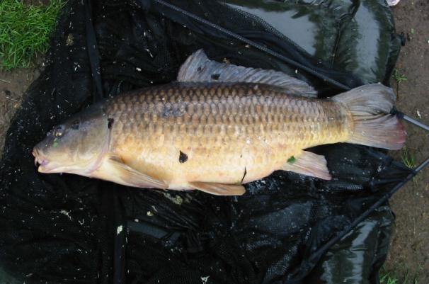 Twenty Four Pounds Milton Common Carp