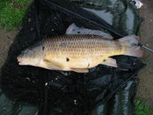 Milton carp 24 Pounds