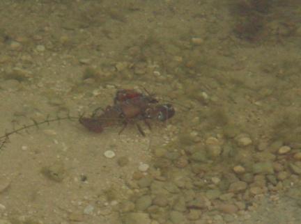 Photo Crayfish Problems carp fishing