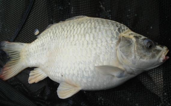 Image showing a stalked carp capture