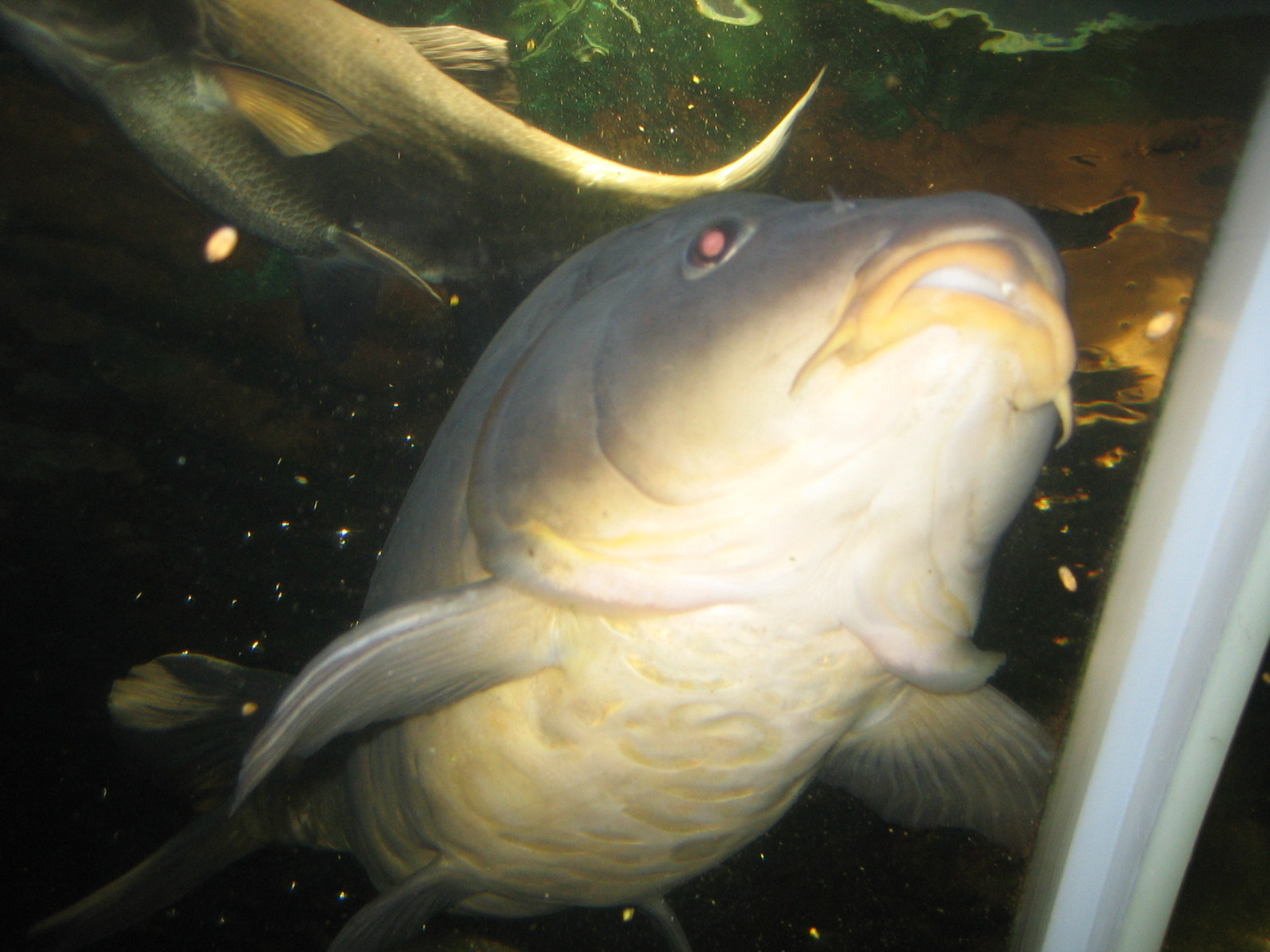 Image of Carp Searching for Food