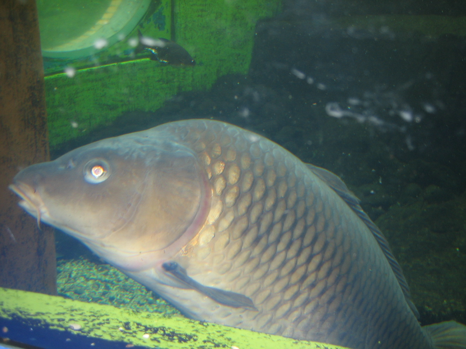 Image of carp after eating particles