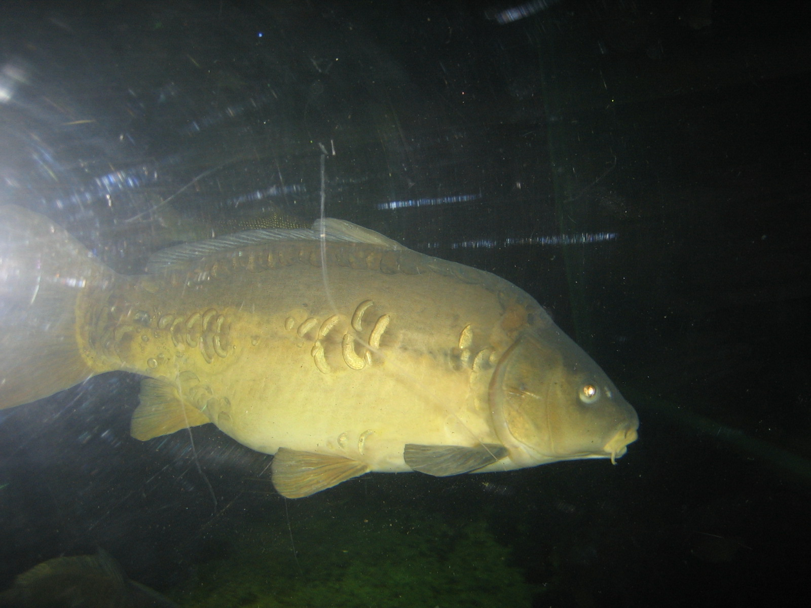 Photo shows a Carp Swimming Midwater Depth