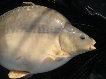 Picture shows digestive habits of a carp